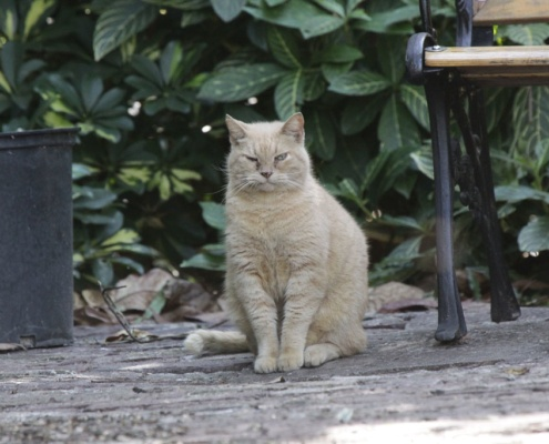 Earnest Hemingway Katze