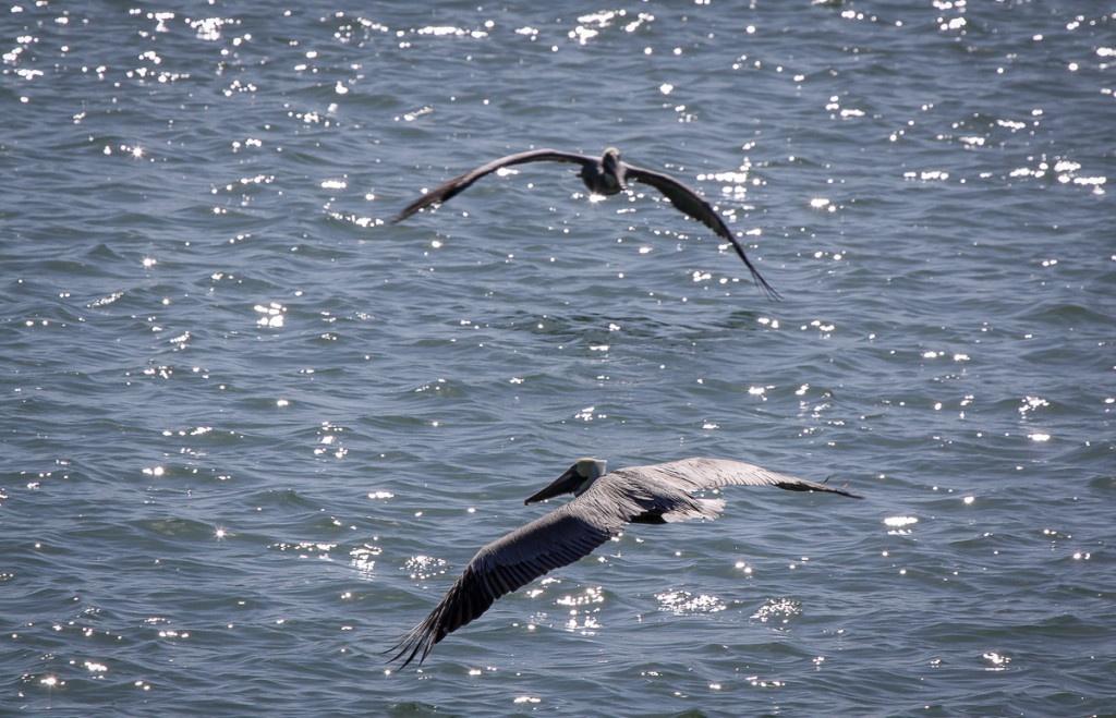 Pelikane über der Bay