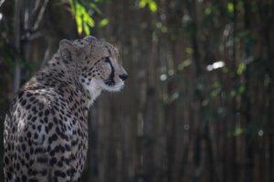 Gepard (englisch: Cheetah)